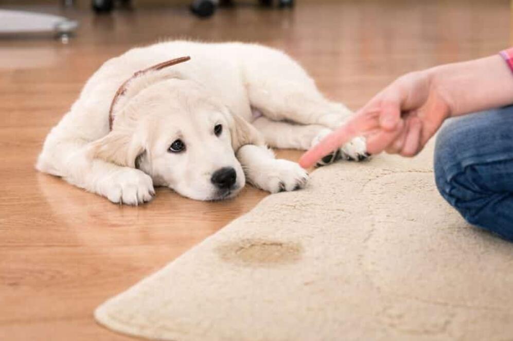 Dog urine on carpet